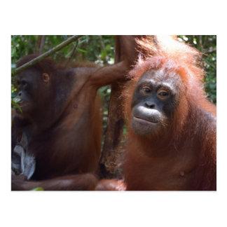 Orangutans in Jungle of Borneo Postcard