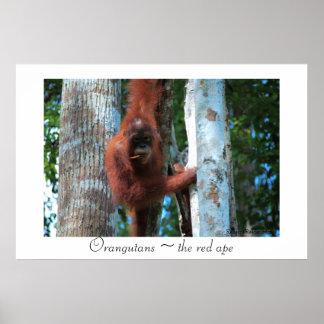 Orangutans the red ape posters