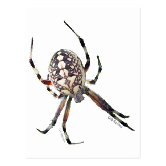 Orb Spider Postcard