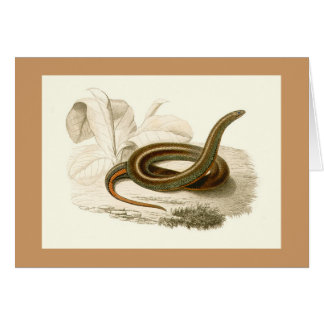 Orbigny - Snake - Homalosoma arctiventris Card