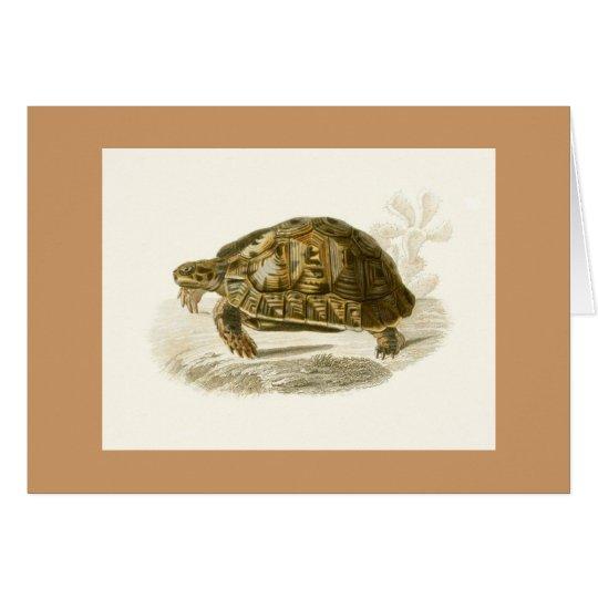 Orbigny - Tortoise - Testudo mauritanica Card