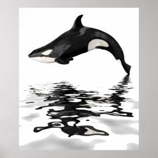 Orca aislada con la reflexión póster