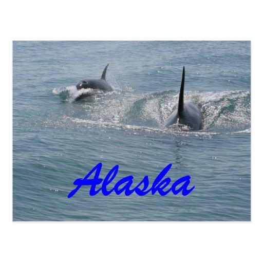 Orca and calf, Alaska Post Card