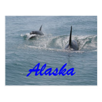 Orca and calf, Alaska Postcard