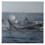 orca azulejo cuadrado grande