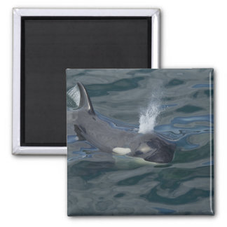 Orca blowing magnet