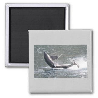 Orca breaching in Alaska 2 Inch Square Magnet