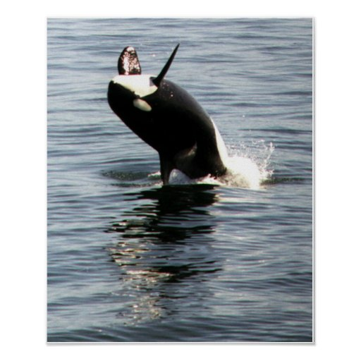Orca breaching in Puget Sound Poster