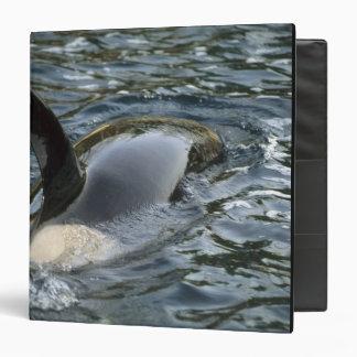 Orca de la orca, de la orca, del Orcinus), adulto