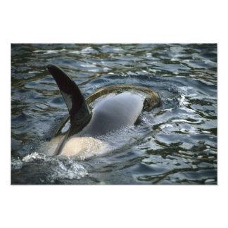 Orca de la orca, de la orca, del Orcinus), adulto Fotografía