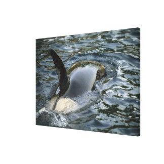Orca de la orca, de la orca, del Orcinus), adulto Lienzo Envuelto Para Galerías