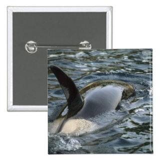 Orca de la orca, de la orca, del Orcinus), adulto Pin