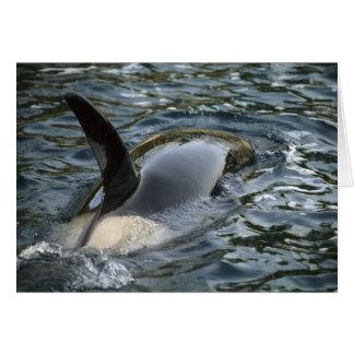 Orca de la orca, de la orca, del Orcinus), adulto Tarjeta De Felicitación