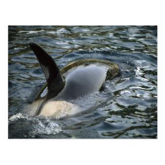 Orca de la orca, de la orca, del Orcinus), adulto Tarjetas Postales