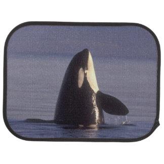 Orca de la orca de Spyhopping (orcinus de la orca) Alfombrilla De Coche