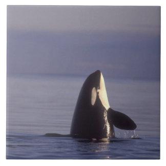 Orca de la orca de Spyhopping (orcinus de la orca) Azulejo Cuadrado Grande
