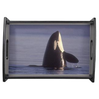 Orca de la orca de Spyhopping (orcinus de la orca) Bandeja
