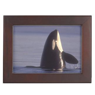 Orca de la orca de Spyhopping (orcinus de la orca) Cajas De Recuerdos