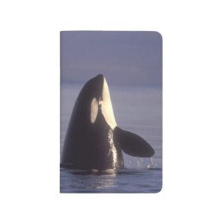 Orca de la orca de Spyhopping (orcinus de la orca) Cuadernos