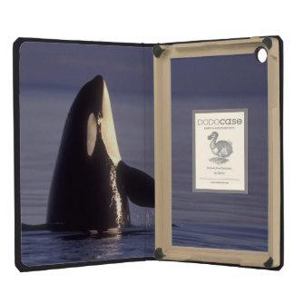 Orca de la orca de Spyhopping (orcinus de la orca)