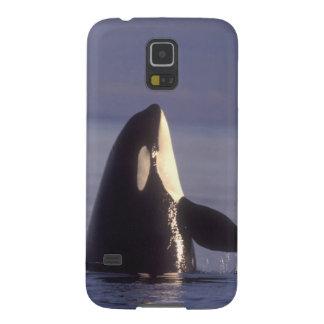 Orca de la orca de Spyhopping orcinus de la orca