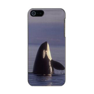 Orca de la orca de Spyhopping (orcinus de la orca) Funda Para iPhone 5 Incipio Feather Shine