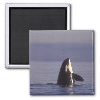 Orca de la orca de Spyhopping (orcinus de la orca) Imán Cuadrado