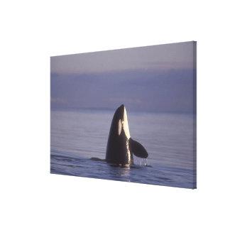 Orca de la orca de Spyhopping (orcinus de la orca) Impresión En Lona