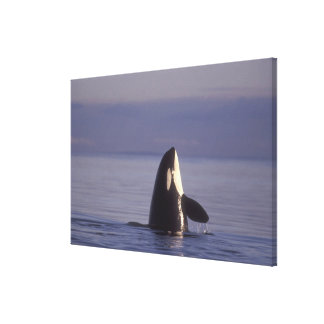 Orca de la orca de Spyhopping (orcinus de la orca) Lona Estirada Galerías