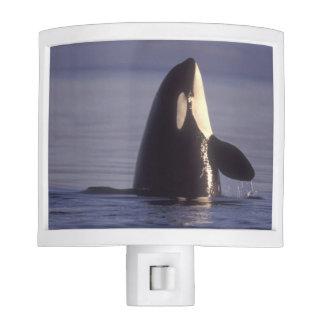 Orca de la orca de Spyhopping (orcinus de la orca) Luces De Noche