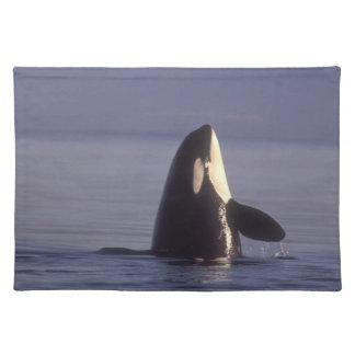 Orca de la orca de Spyhopping (orcinus de la orca) Mantel