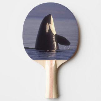 Orca de la orca de Spyhopping (orcinus de la orca) Pala De Tenis De Mesa