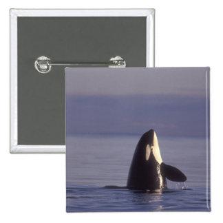 Orca de la orca de Spyhopping (orcinus de la orca) Pin Cuadrada 5 Cm