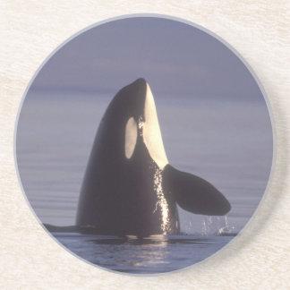 Orca de la orca de Spyhopping (orcinus de la orca) Posavasos De Arenisca
