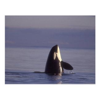 Orca de la orca de Spyhopping (orcinus de la orca) Postal