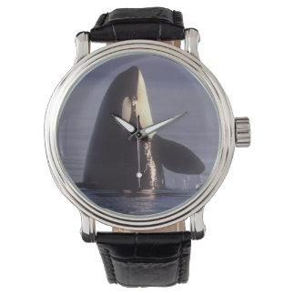 Orca de la orca de Spyhopping (orcinus de la orca) Reloj