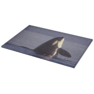 Orca de la orca de Spyhopping (orcinus de la orca) Tabla Para Cortar