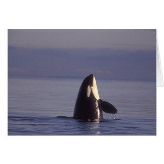Orca de la orca de Spyhopping (orcinus de la orca) Tarjeta De Felicitación