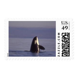 Orca de la orca de Spyhopping (orcinus de la orca) Timbres Postales