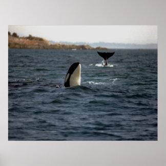 Orca de San Juan Póster