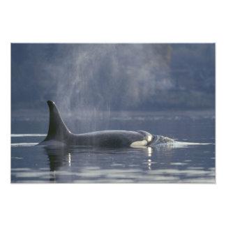Orca del Orcinus de la ballena de la orca de la he Fotografías