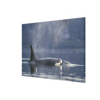 Orca del Orcinus de la ballena de la orca de la he Impresiones En Lienzo Estiradas