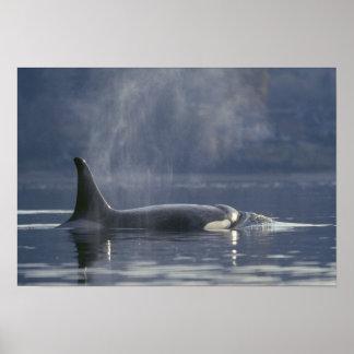 Orca del Orcinus de la ballena de la orca de la he Póster