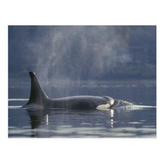 Orca del Orcinus de la ballena de la orca de la he Tarjeta Postal