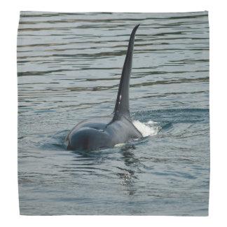 Orca en la caza bandana
