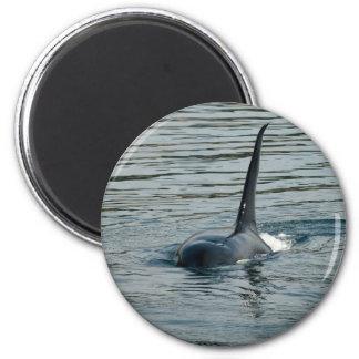 Orca en la caza imanes para frigoríficos