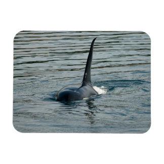 Orca en la caza iman flexible