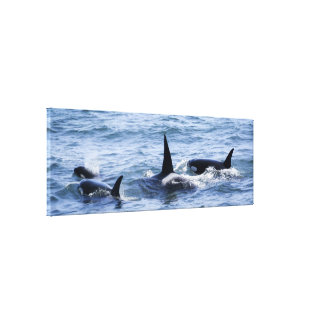 Orca Family Stretched Canvas Print