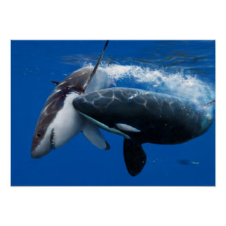 Orca hunting great white shark plaat