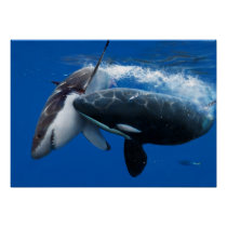 Orca hunting great white shark poster